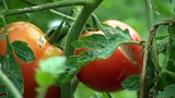 Growing Tomatoes stock footage
