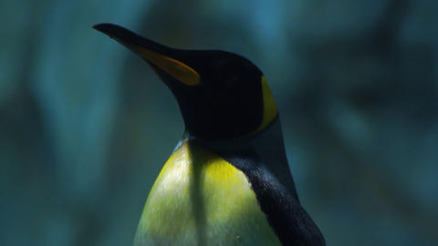 Penguin Stock Video Footage