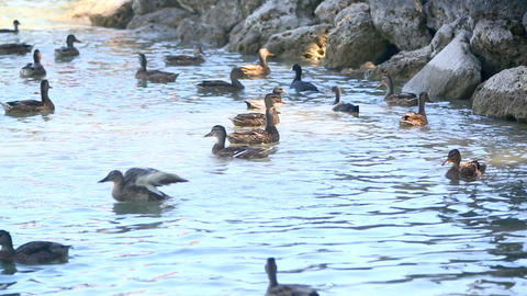 Lots of ducks are fed at a lake Footage