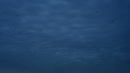 Crows Fly Black Sky stock footage