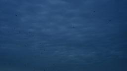 Crows Fly Black Sky Footage