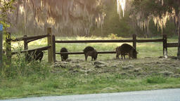 wild hogs in Florida park 영상물