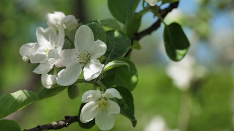 Branch of Blooming Apple Tree Footage