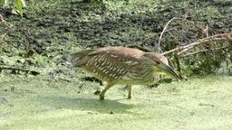 immature Black-crowned Night-Heron Footage