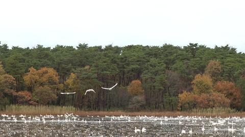 Swan taking off Footage