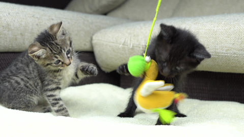 Kittens play Footage