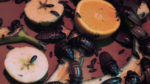 Giant cockroaches eat fresh fruits 영상물