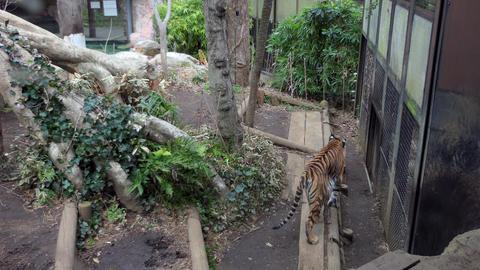 Tiger In Cage At Ueno Zoo Gardens Tokyo Japan ビデオ