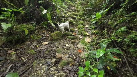 Jack Russell Terrier Sniffing Into The Woods Footage