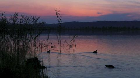 Ducks swimming at a lake at sunset Footage