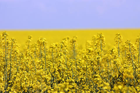 blooming yellow rapeseed field フォト