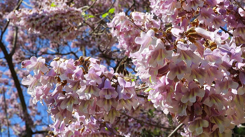 Princess Tree Flowers, Emperor Tree Flowers Paulownia... Stock Video Footage