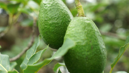 Avocado Fruit Hanging Closeup Handheld Footage