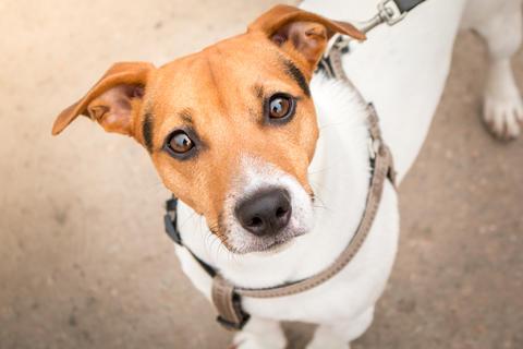 Jack Russell Terrier smart look フォト