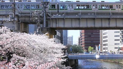 Meguro River and Sakura 영상물