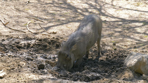 Warthog is digging the earth in the savannah Footage