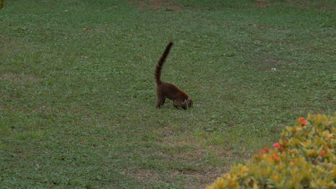 Wild Costa Rica coati foraging for food Footage