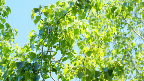bright green leaves against a blue sky Archivo