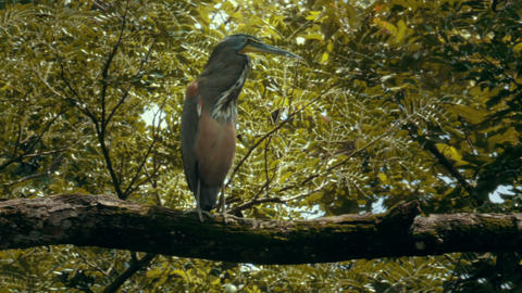 A Tiger Heron perched on a branch in a Costa Rica rainforest ビデオ
