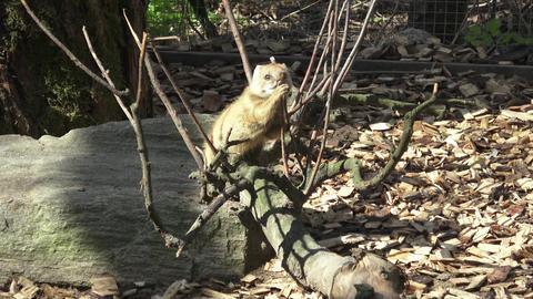 The yellow mongoose (Cynictis penicillata) Footage
