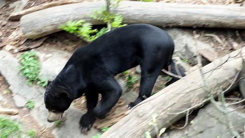 Beautiful smaller kind of bears. Helarctos malayanus, Live Action