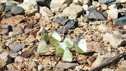 White butterflies on stony ground Footage