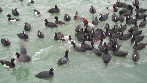Seabirds in a water. Ducks swim in a sea Footage