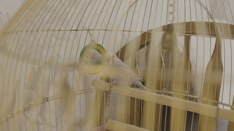 A blue parrot jumps on a cage in the house GIF