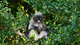 Dusky Leaf Monkey with it's baby eat leaf on tree Footage
