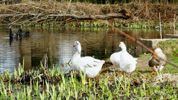 A flock of white geese and black swan on pond Footage