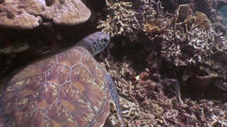 Sea turtle on bottom in reef underwater of nature Philippines 영상물