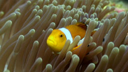 Anemone and clownfish close up underwater on seabed of wildlife Philippines Footage