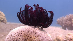 Red sea lily in clear blue water in ocean of wildlife Philippines Footage