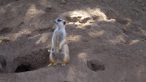 Suricata standing on a guard Footage