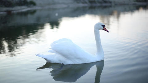 Lonely Swan swims in a small lake GIF
