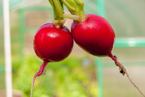 Two red root juicy radishes close up フォト