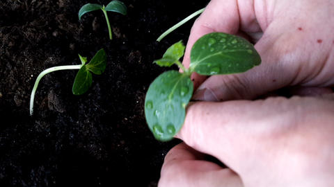 Male Hands Planting Young Plant Footage