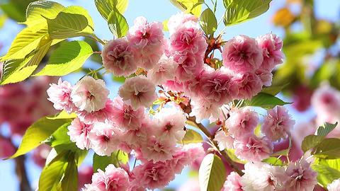 Prunus Serrulata Flowers mooved by the wind Footage
