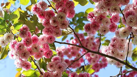 Sakura Blossom ビデオ