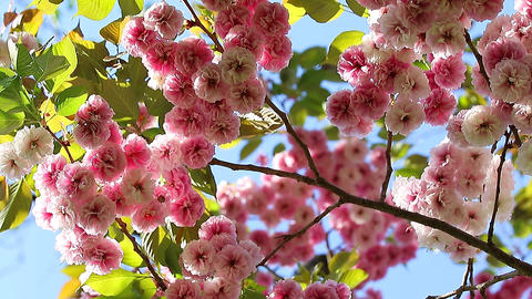 Sakura Blossom 影片素材