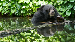 Asian black bear relax in pond Live Action