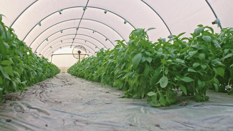 Low angle shot of basil greenhouse with farmer walking inside Footage