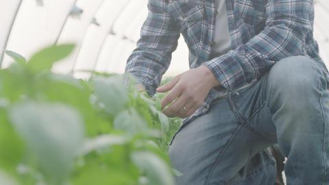 Low angle shot of basil greenhouse with farmer walking inside GIF