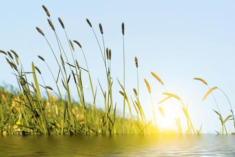 Flowering grass in detail - Allergens フォト
