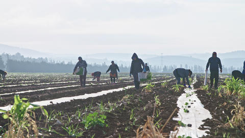 Farm workers planting watermelon plants in a field Live Action