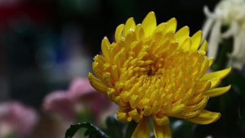 霧の中の一輪の黄色い菊の花 ビデオ