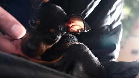 Puppy of miniature Pinscher relaxing at owner's knee 1: Holidays image of pet Live Action