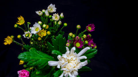 Flowering of chrysanthemum 영상물