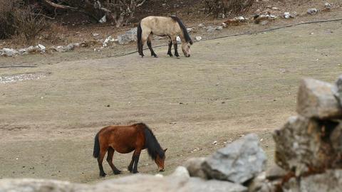 Nepalese Mules 4k GIF