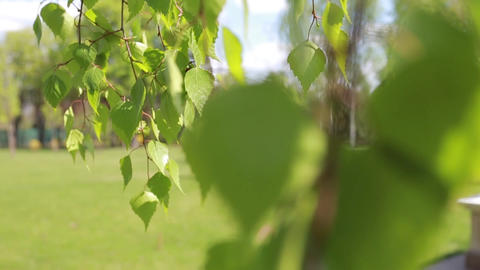 Birch leaves on blurry background, change of focus Footage